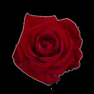 Långa röda rosor, välj antal själv!