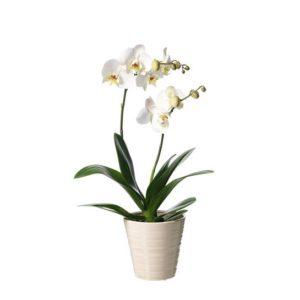 Vit Phalaenopsis-orkidé i vit kruka. Finns att beställa som blommogram hos Interflora, en av våra största blomsterförmedlare på nätet.