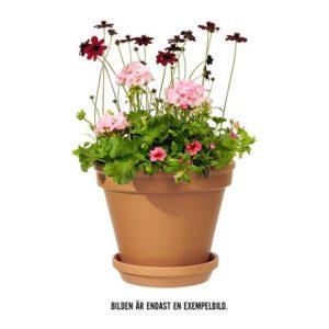 Sommarplantering i kruka för utebruk. Blommor i rosa nyanser tillsammans med gröna blad. Finns hos Interflora.
