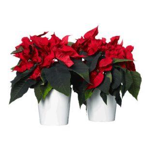 Två röda julstjärnor i varsin vit kruka. Blommorna finns att beställa hos Interflora, en av de största blomsterförmedlingarna på nätet.