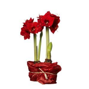 Två planteringskrukor med röda amaryllisar, krukorna inslagna i silkespapper. Du hittar blommorna i Interfloras egen onlineshop.