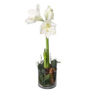 Vit amaryllis i glaskruka, du hittar den bland Interfloras julblommor.