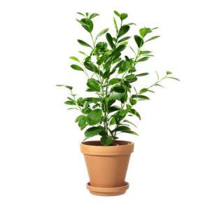 Ficus microcarpa moclame, planterad i terakottakruka. Ur Interfloras sortiment av krukväxter.