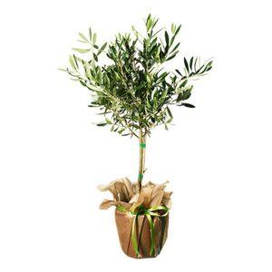 Olivträd. Skicka det med ett blommogram från Interflora och gör någon glad!