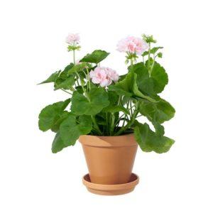 Terrakottakruka med rosa pelargon. Ur Interfloras sortiment av sommarblommor.