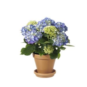 Blå hortensia i terrakottakruka. Skicka blommorna med ett blombud via Interflora!