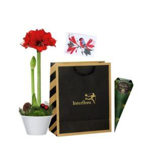 Presentkasse med röd amaryllis i vit kruka, en strut med belgiska praliner samt ett tjusigt julkort. Skicka kassen med ett blommogram från Interflora - beställ enkelt online!