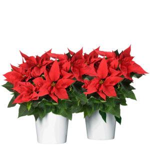 Två röda julstjärnor i vita krukor. Obs: du kan välja att skicka en julstjärna också!Beställ blommorna online hos Interflora - skicka dem med bud!