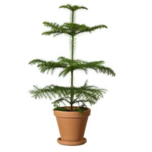 Terrakottakruka, med en grön rumsgran. Skicka den med ett blommogram från Interflora och önska God Jul!
