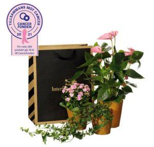Presentpåse med tre krukväxter; en anthurium, en våreld och en murgröna. Beställ presentsetet i Interfloras e-shop - skicka med blommogram!